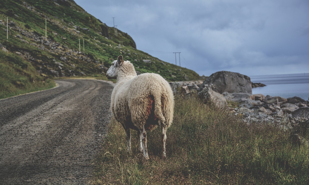 Sheep at roadside
