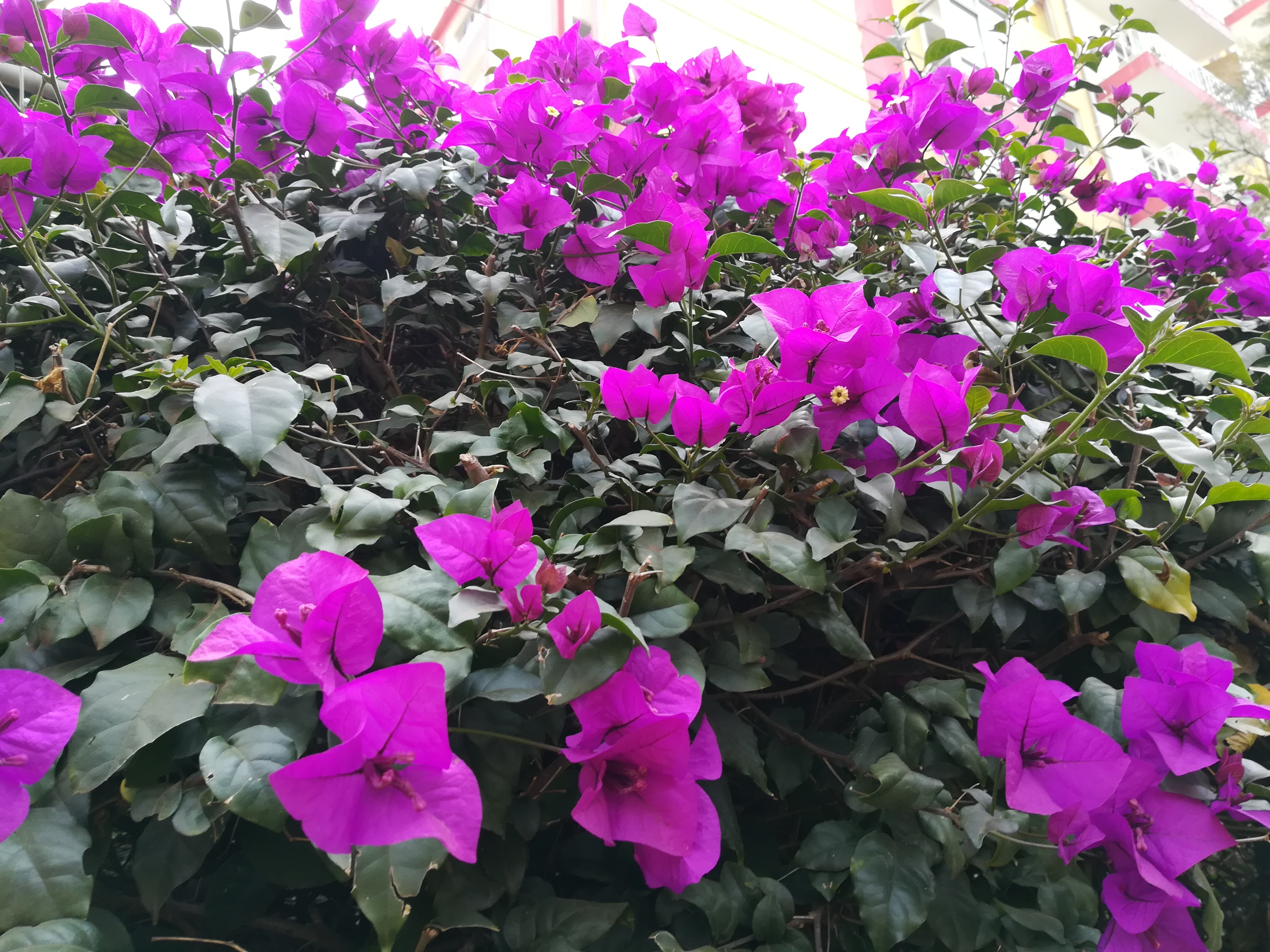 Mass of purple Bougainvillea flowers