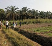 View of workers in field. Several rows of planting in the foreground, banana or palm trees in the background